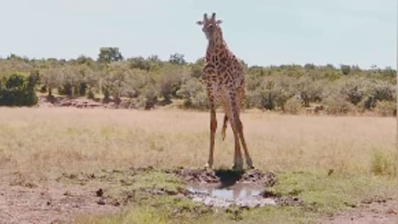 Giraffe used to drink water like this. It's really cute.
