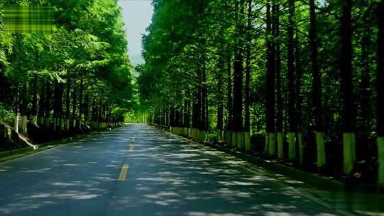 Drive the car and slowly drive the long, green trees on both sides.