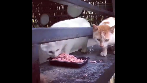 The master put a dish of meat in the middle of the rail, and two cats came slowly to eat.