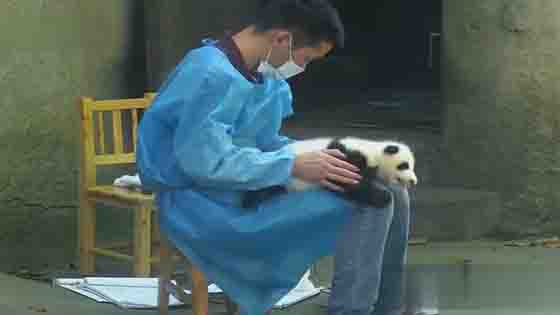 Baby panda was used as a small table board by the breeder!