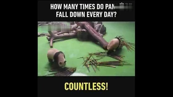 How many times do panda fall down every day?