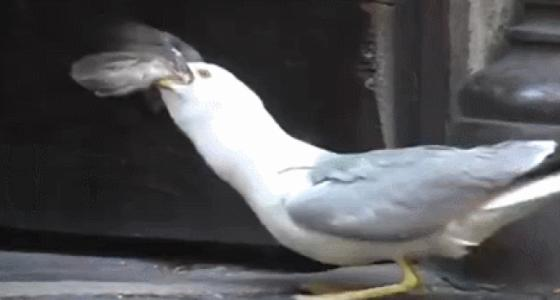 Seagulls pretend to bask in the sun and rush directly to the pigeons next second. This performance is admirable!