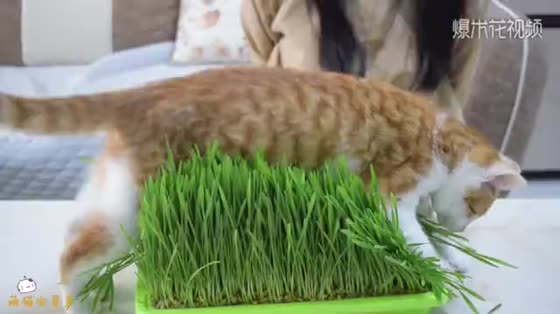 After 10 days of planting catgrass, cats finally grow. It's time to harvest them.