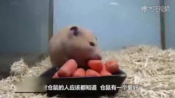 Throw the hamster into a box of sunflower seeds. Ten minutes later, the hamster looks so cute.
