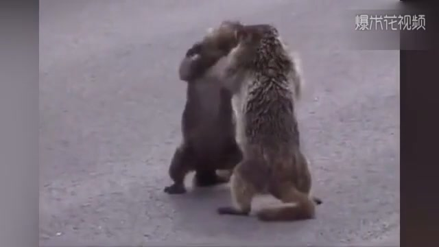 Groundhog, please be serious. We're really fighting, not dancing.