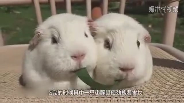 Two little guinea pigs ate a piece of grass together, and the final reaction was surprising and almost germinated.