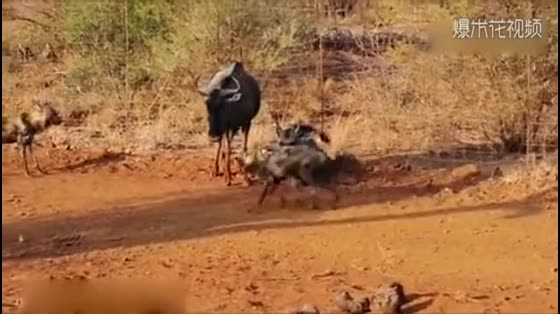 The wild dog attacked the wildebeest family. The wildebeest had run out of sight. The wildebeest chose to protect her children.