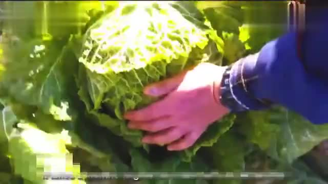 The cultivation and harvest of Chinese cabbage in Japan is worth learning.
