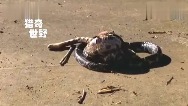 Video of King Cobra, Taipan Snake and rattlesnake fighting each other