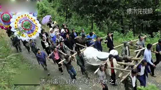 An old cow died in Guizhou Province. More than 500 people came to the funeral to make tombs and erect monuments, offering sacrifices with Maotai liquor.