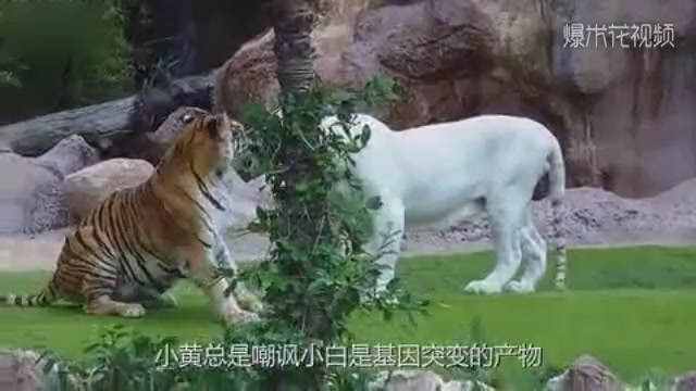 Tigers fight with white tigers in the zoo. The whole process is photographed.