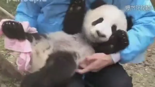 Pandas are too uncooperative. Big Brother can really play.