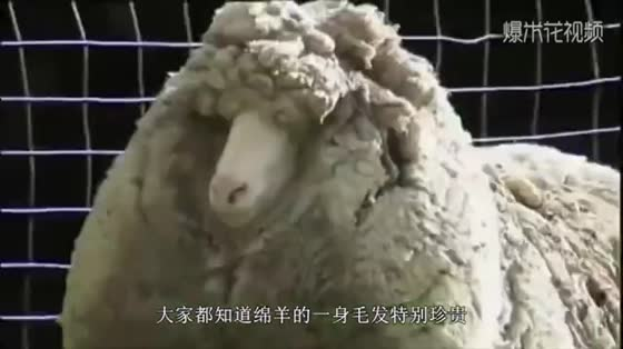 The ugliest sheep in the world, which sells for nearly 500,000 yuan, is afraid of nightmares.