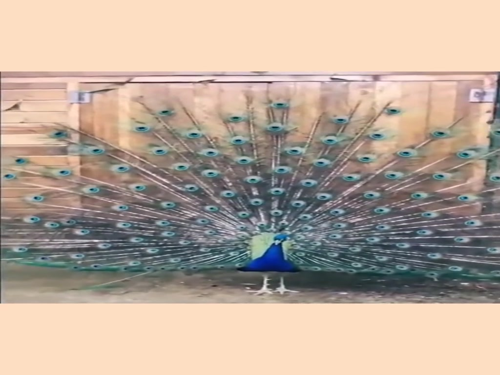 The peacock's instant of opening the screen was beautiful and explosive.