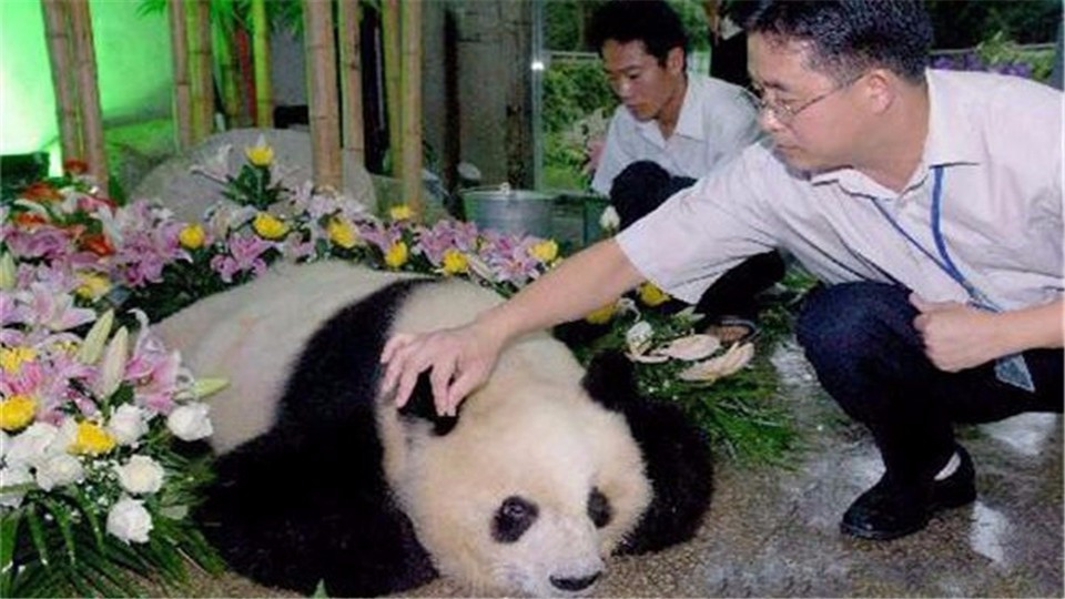 What will the state do with the remains of giant pandas when they die? You don't believe it.