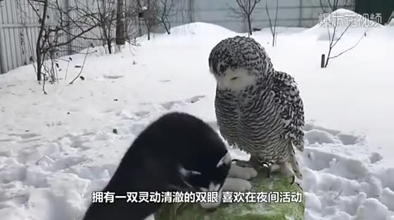 Owls are hatching eggs, and the owner is curious to touch them.