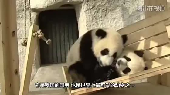 The panda fell into the ditch and reached out its paw to ask the keeper for help. It was funny.
