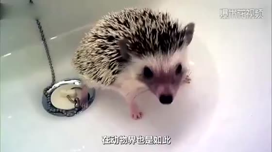 Hedgehogs are full of thorns. How painful is it for a mother to give birth to a baby hedgehog?
