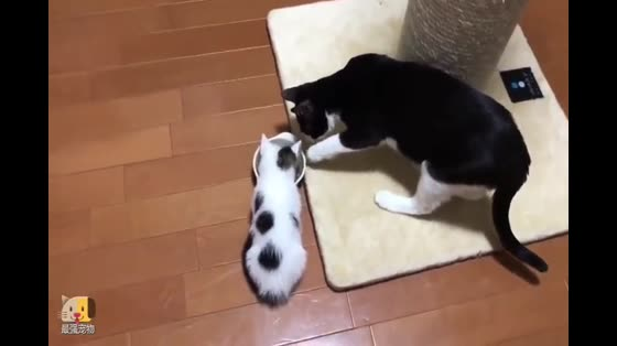 The cat grabbed the cat's mother's food. The big cat was helpless and reluctant to fight.