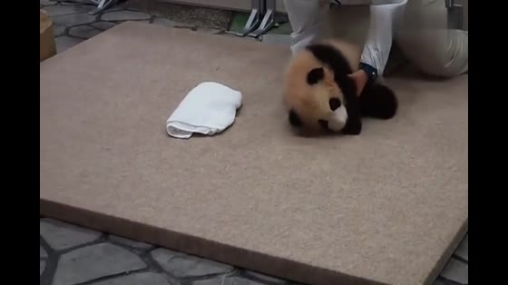 Baby Panda, don't take pictures. I want to sleep, you bad people.