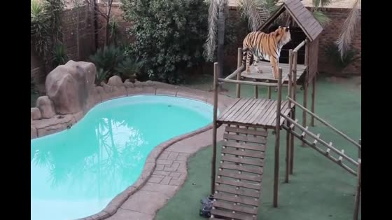 Old-age tigers as pets? Foreign brother keeps a tiger in the yard. It's too scary.