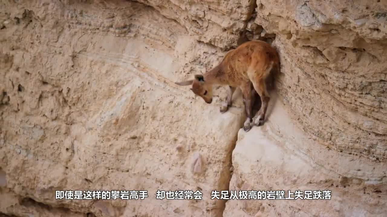 Rock sheep are pushed to the extreme by climbing bears. In order to protect lambs, ewes make admirable actions.