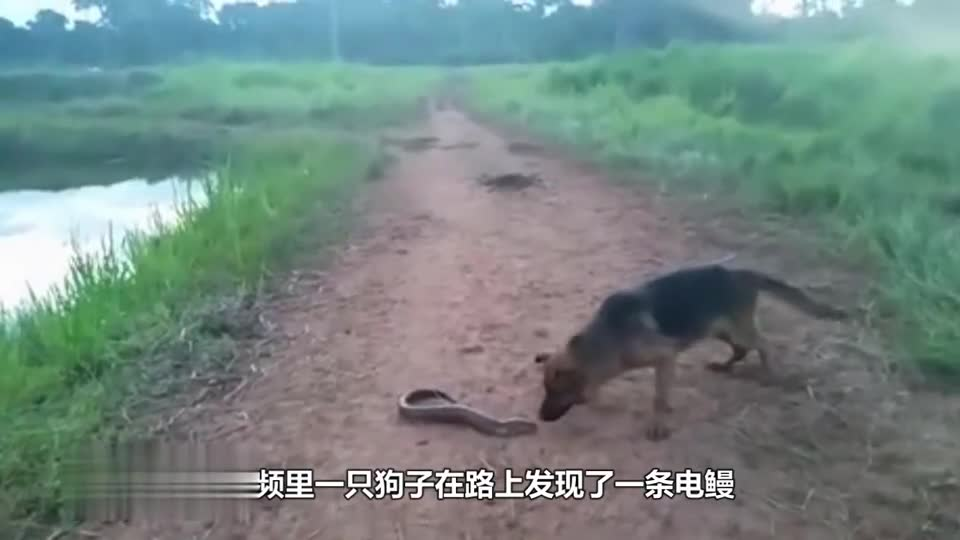 The dog bites the eel in one bite. Don't laugh at the next bite. It's estimated that the dog's head is numb.