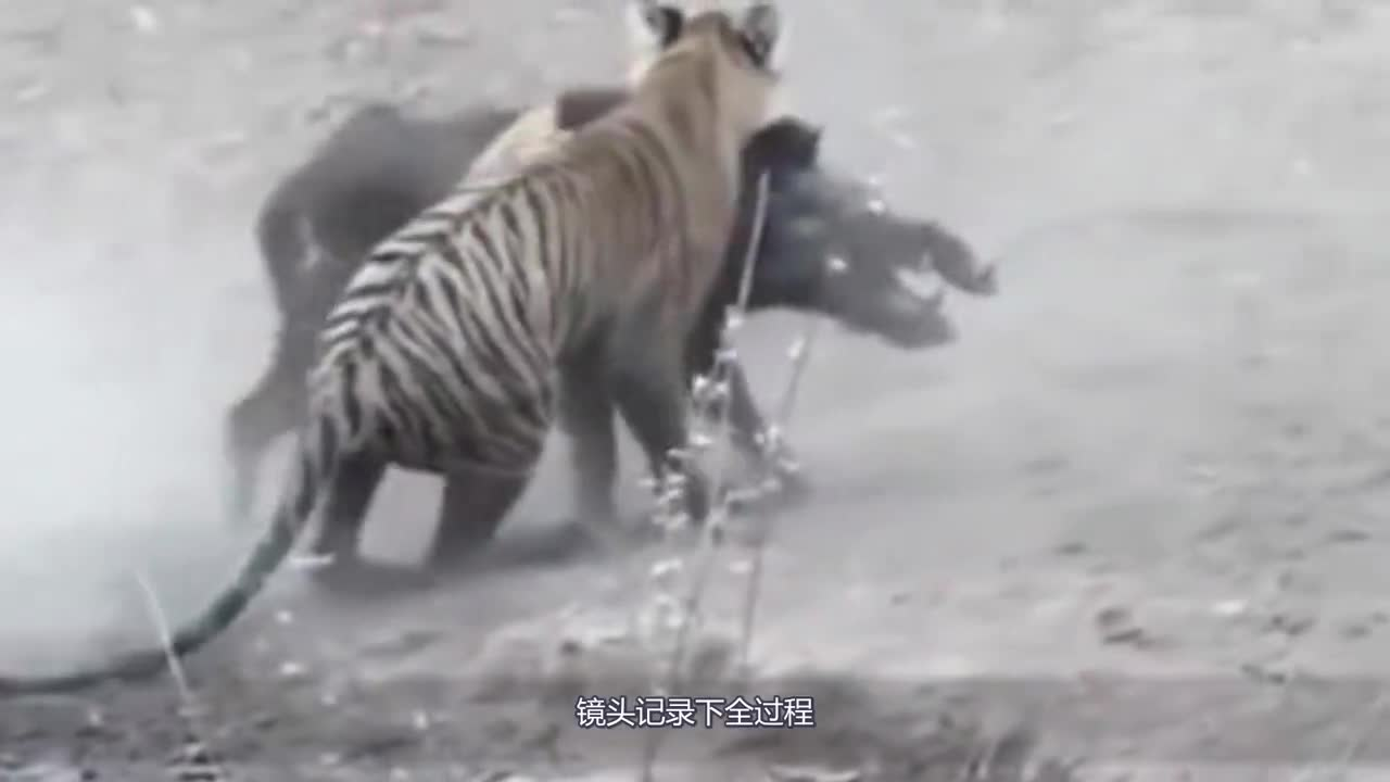 Can 400 kg wild boar win a Siberian tiger? Lens record the whole process!