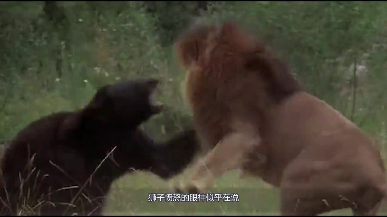 300 kilograms of black bears broke into the territory of the lion. The lion rushed up and killed the lion.