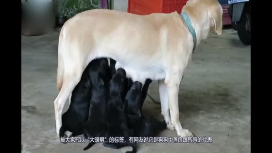 Golden Mao of netizens gave birth, and friends all said they wanted to adopt, but they did not want their children after they knew their father.