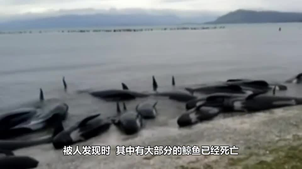 183 whales grounded collectively and experts returned to their ancestors. They wanted to live ashore.